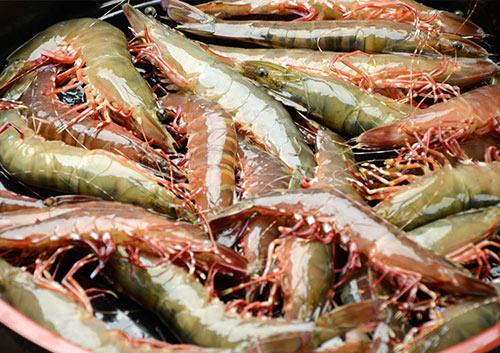 大阪湾産 足赤海老の画像